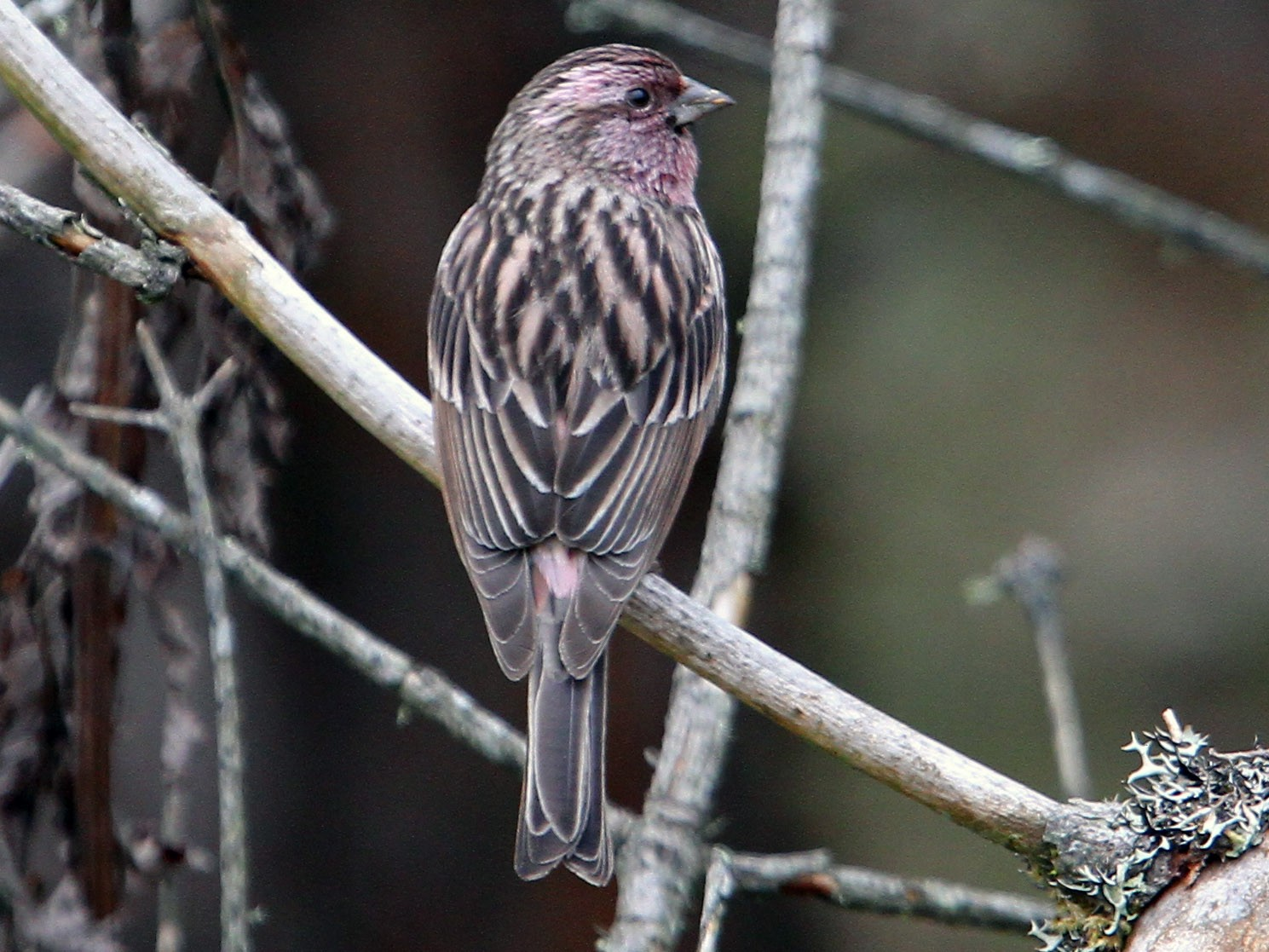 Himalayan Beautiful Rosefinch - Christoph Moning