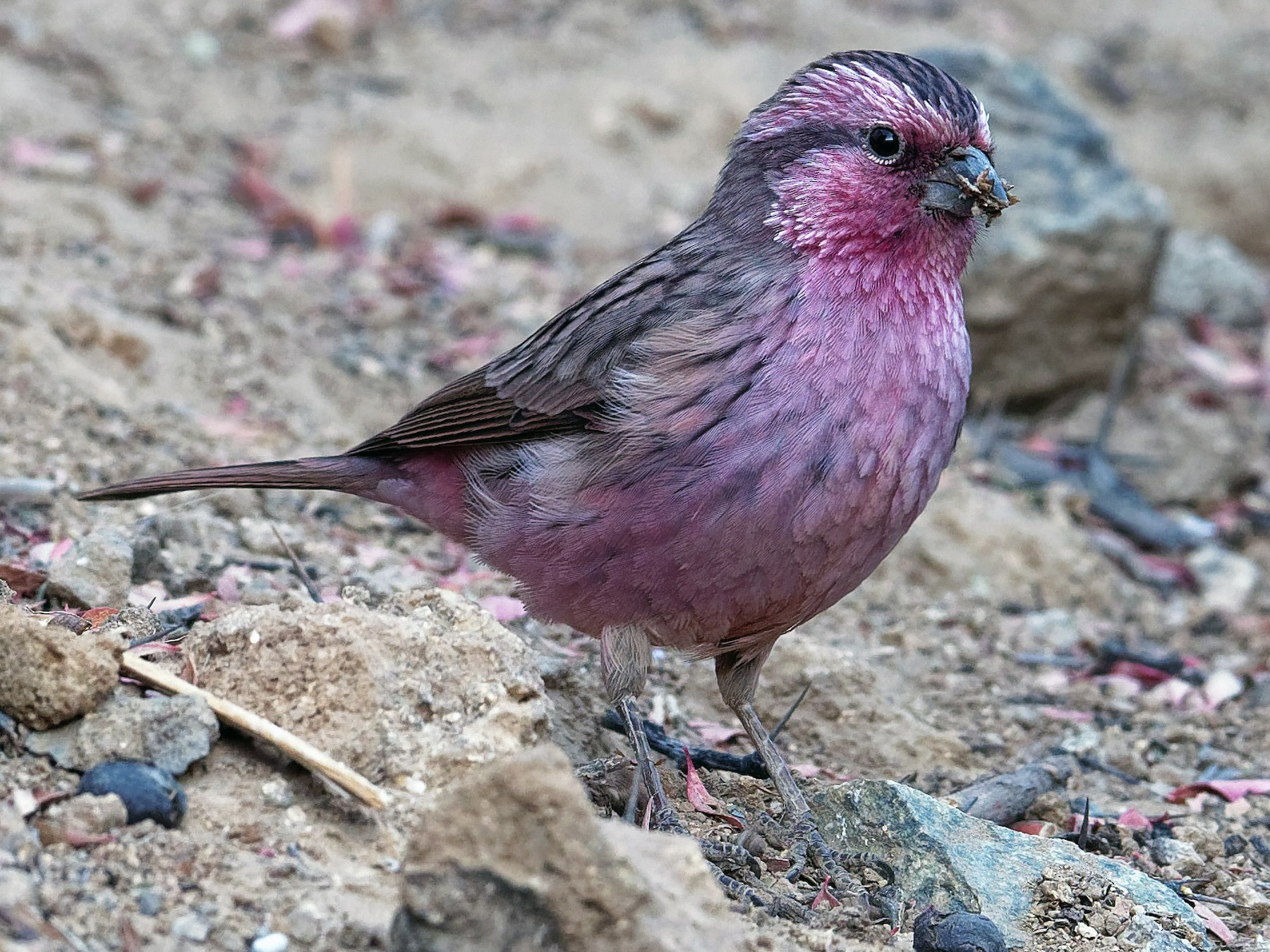 Himalayan Beautiful Rosefinch - Vincent Wang