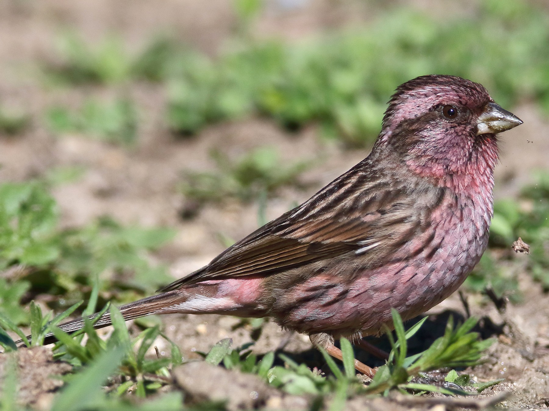 Himalayan Beautiful Rosefinch - C. Abhinav