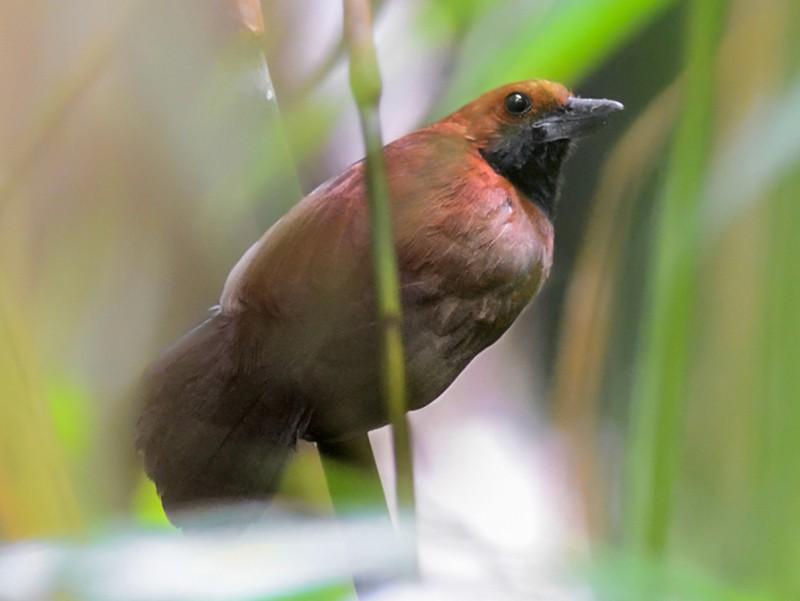 Rondonia Bushbird - Bruno Rennó