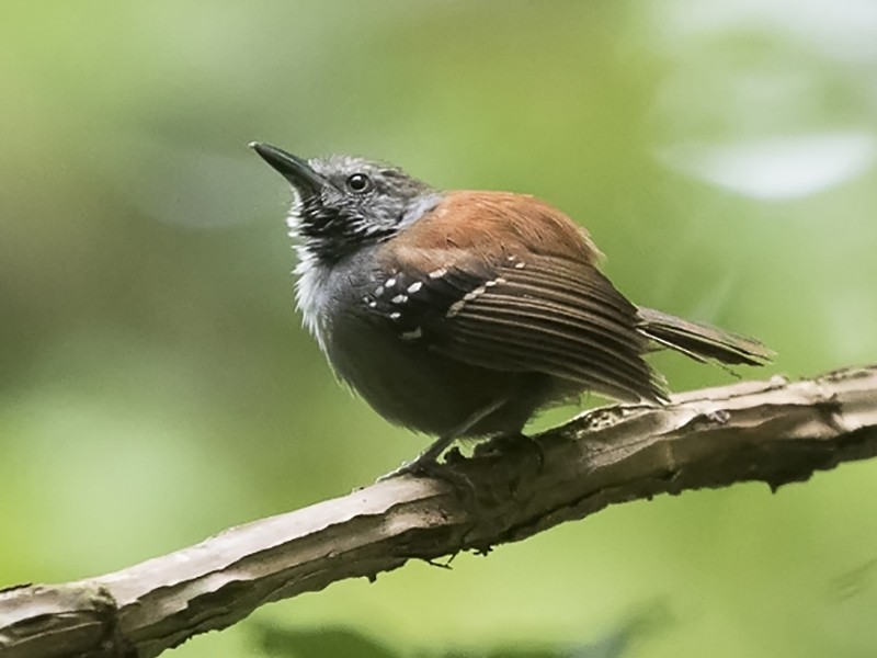 Rufous-backed Stipplethroat - Silvia Faustino Linhares