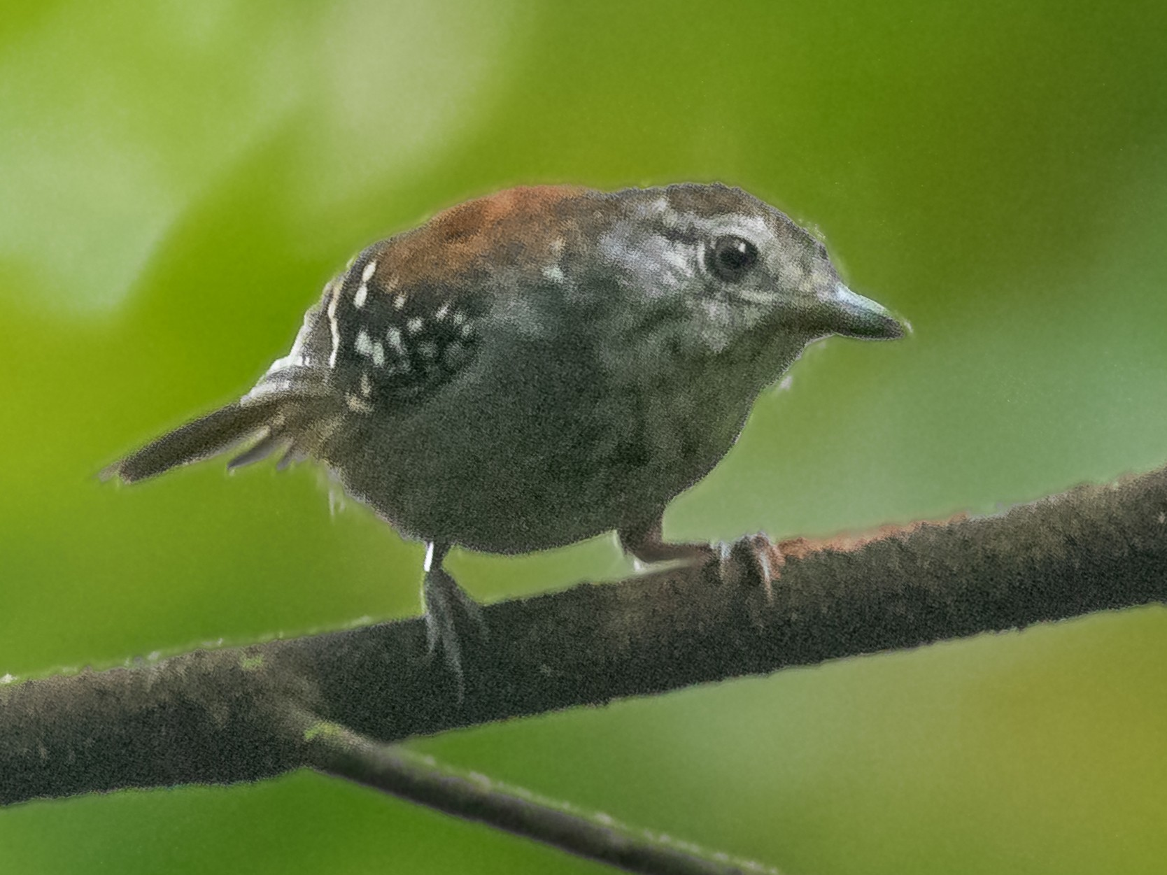 Rufous-backed Stipplethroat - Héctor Bottai