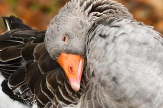 Graylag Goose, ML182252831