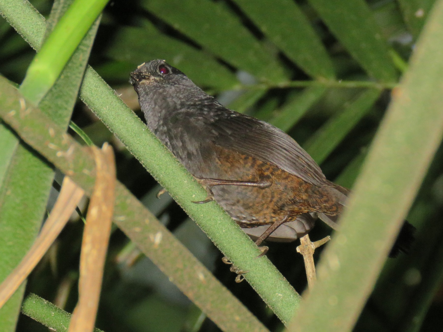 Long-tailed Tapaculo - Colin Dillingham