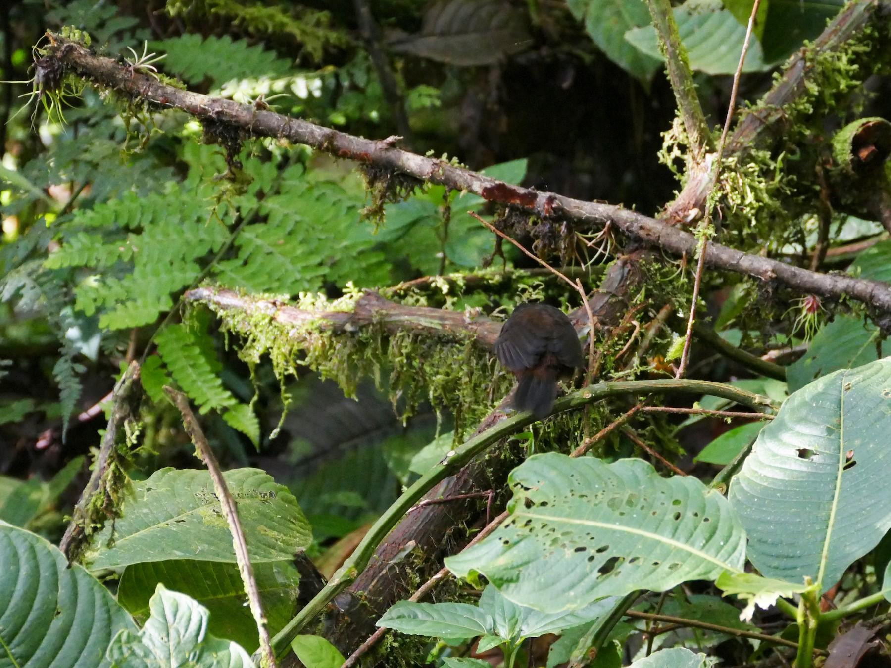 Long-tailed Tapaculo - Peter Kaestner