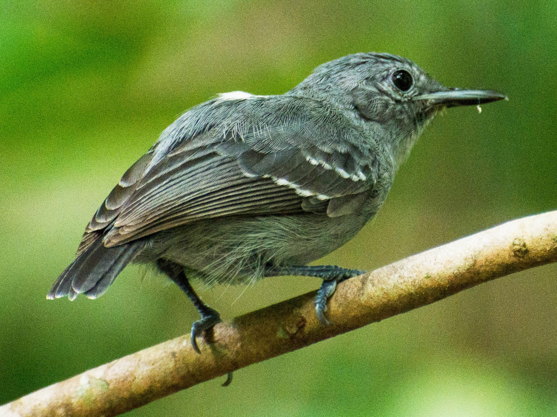 Leaden Antwren - Marcos  Eugênio Birding Guide