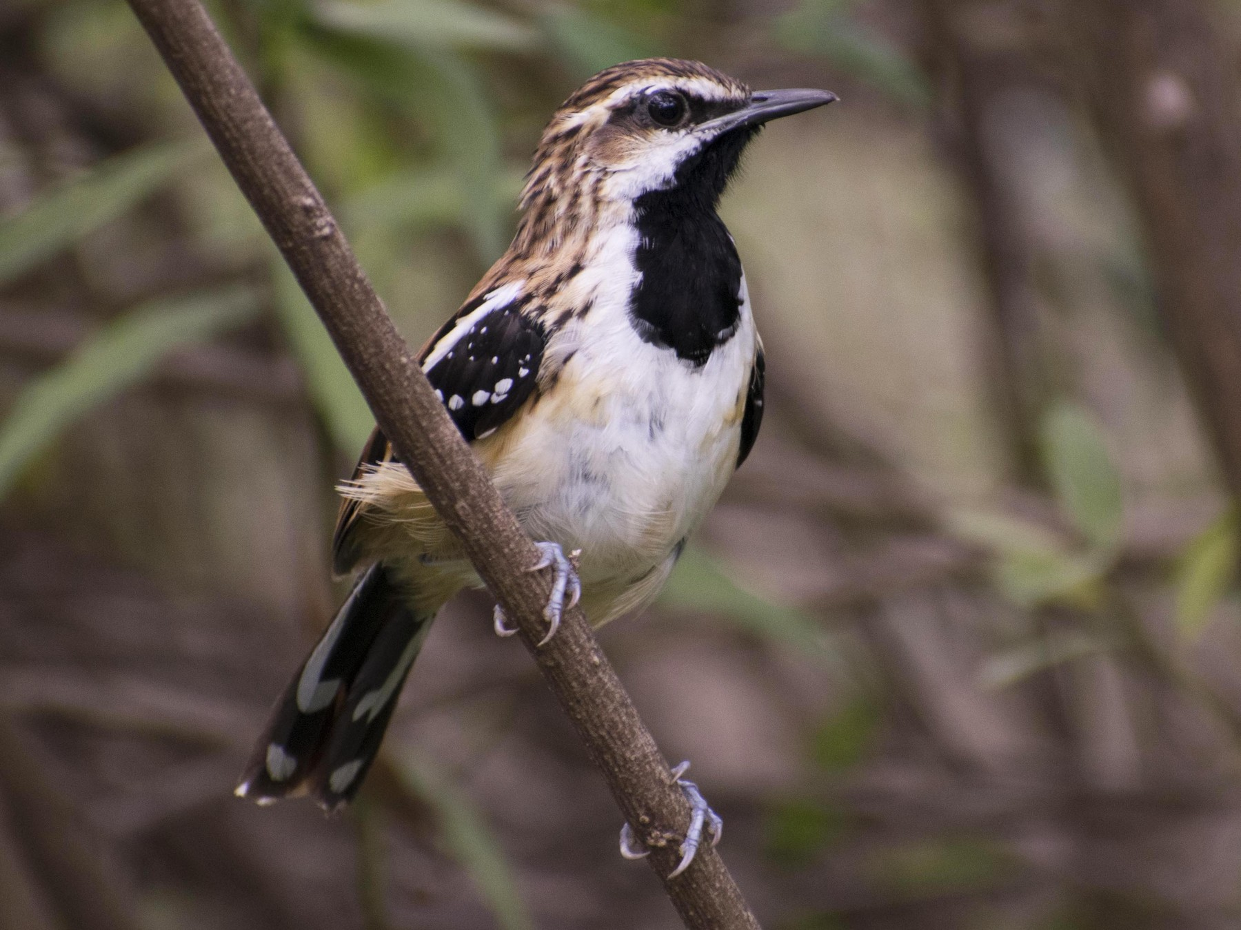 Stripe-backed Antbird - Leandro Bareiro Guiñazú