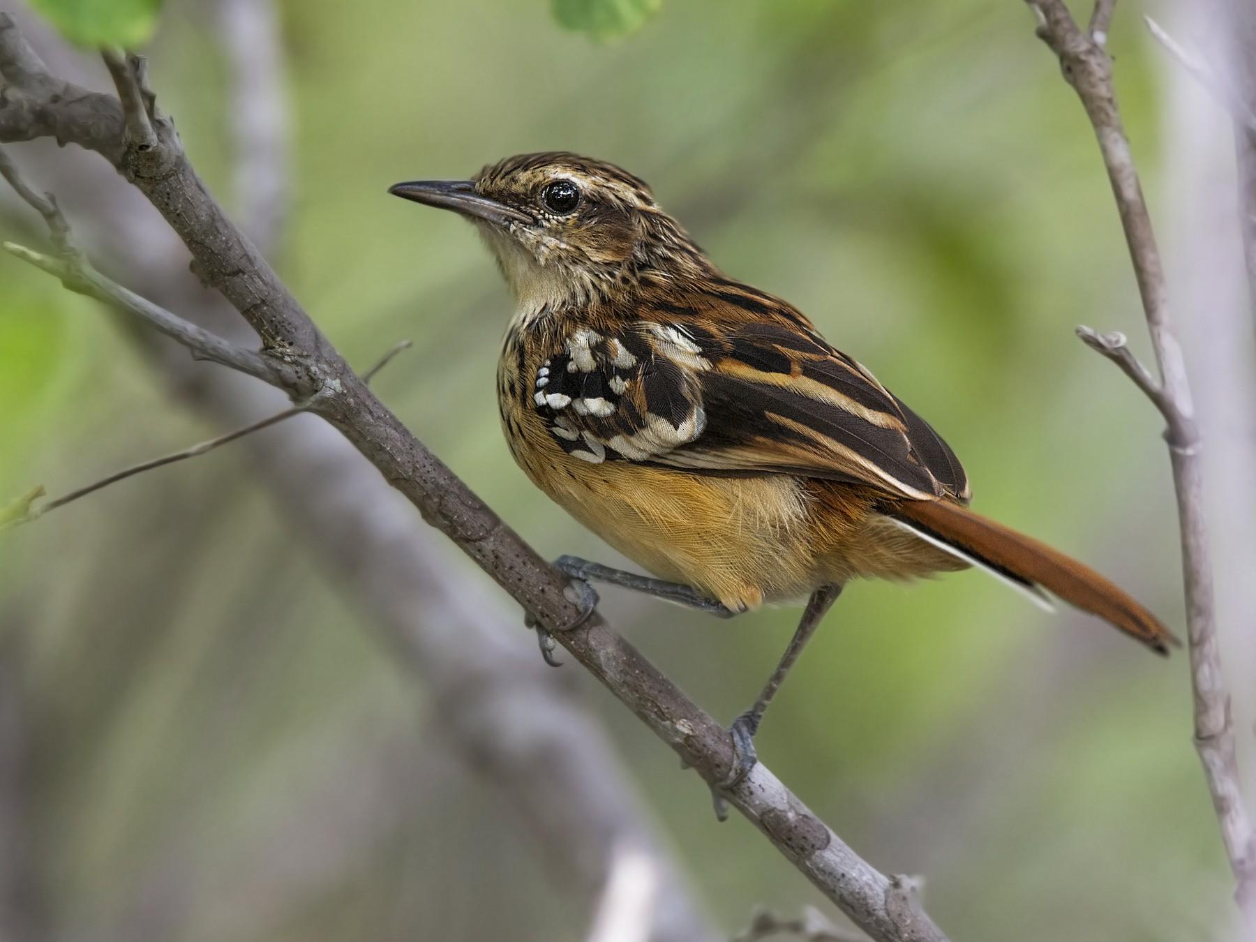 Stripe-backed Antbird - ADMILSON GOMES