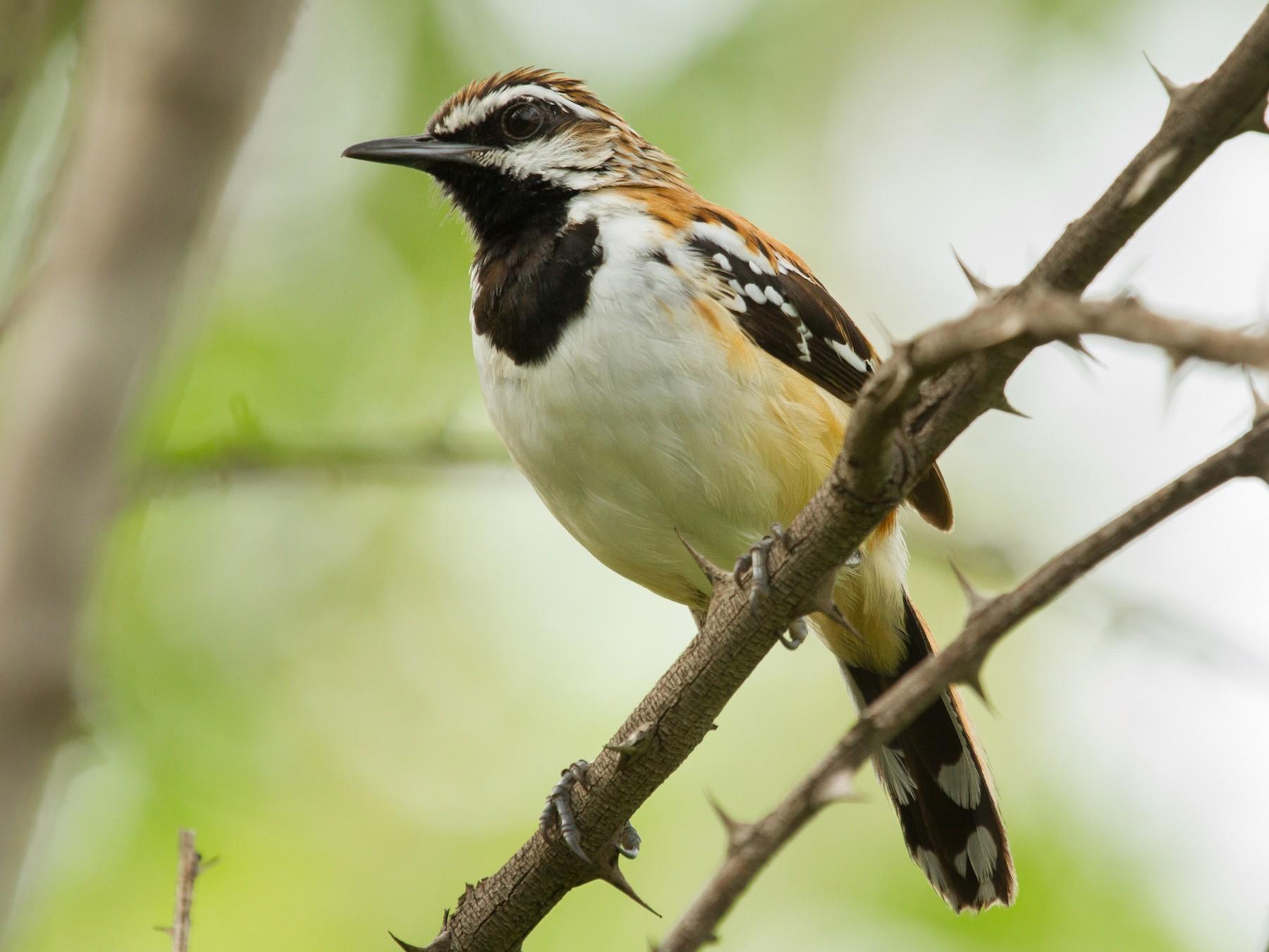 Stripe-backed Antbird - Daniel Fernandes Perrella