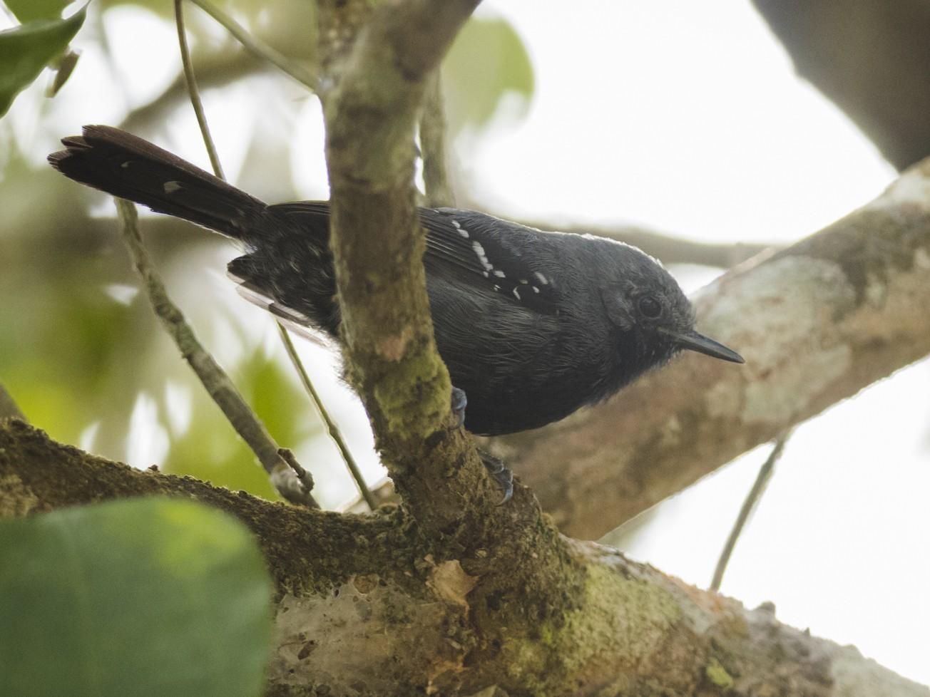 Narrow-billed Antwren - Claudia Brasileiro