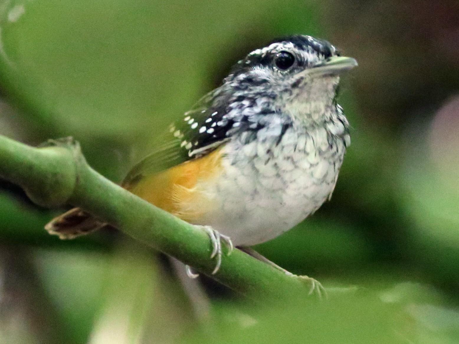 Spix's Warbling-Antbird - Rohan van Twest