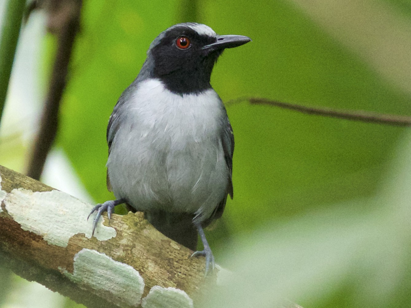 Ash-breasted Antbird - Nicole Desnoyers