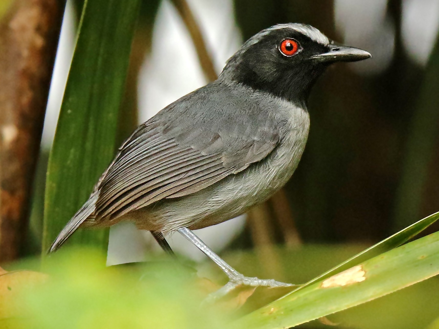 Ash-breasted Antbird - Roger Ahlman