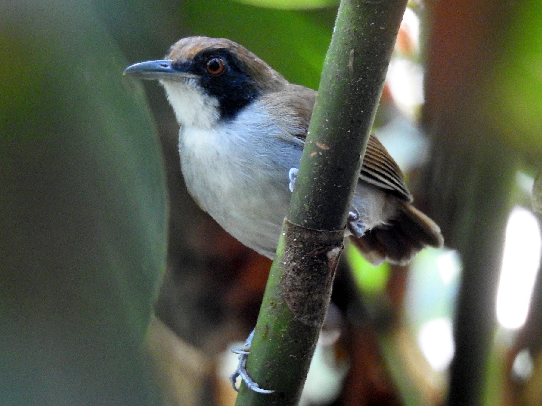 Ash-breasted Antbird - Luis Rodriguez