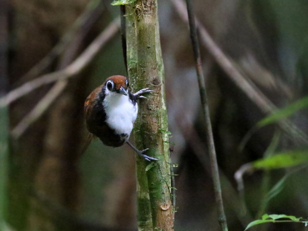 White-cheeked Antbird - Charley Hesse TROPICAL BIRDING