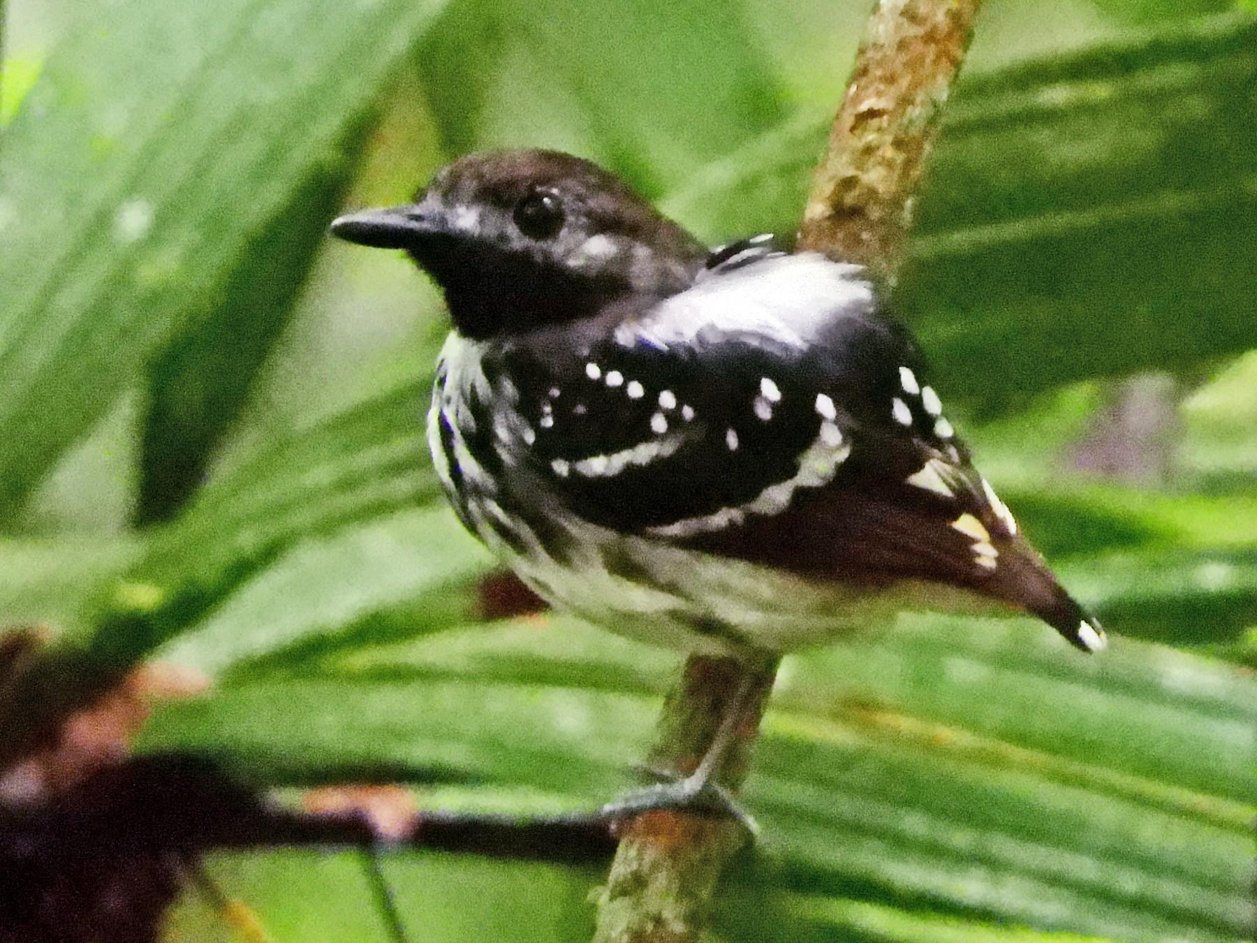 Dot-backed Antbird - Jorge Muñoz García   CAQUETA BIRDING