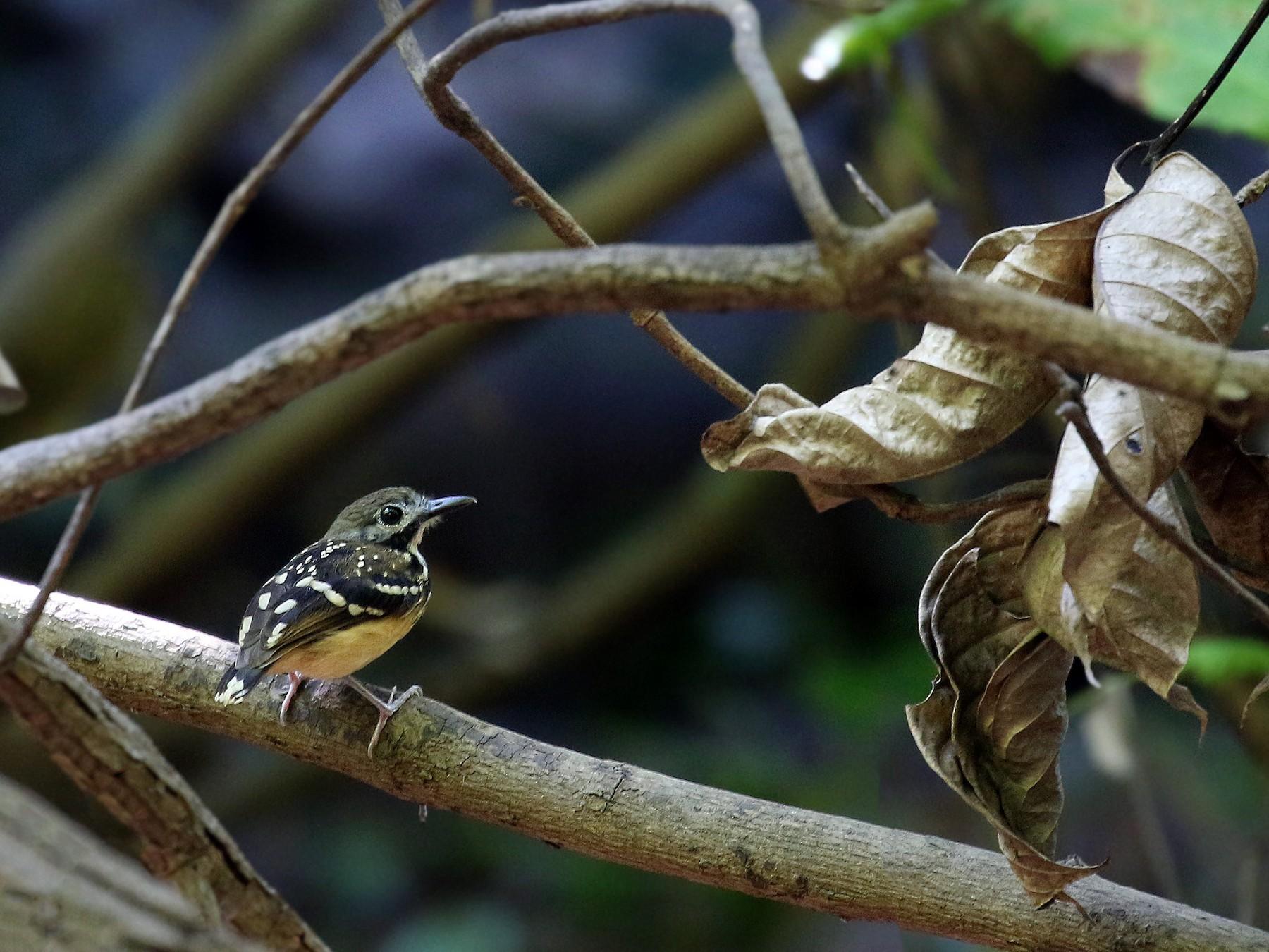 Dot-backed Antbird - Andrew Spencer
