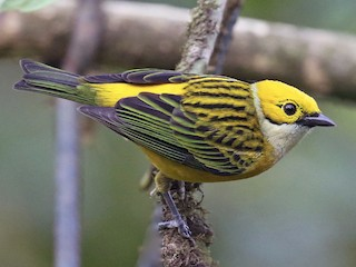 - Silver-throated Tanager