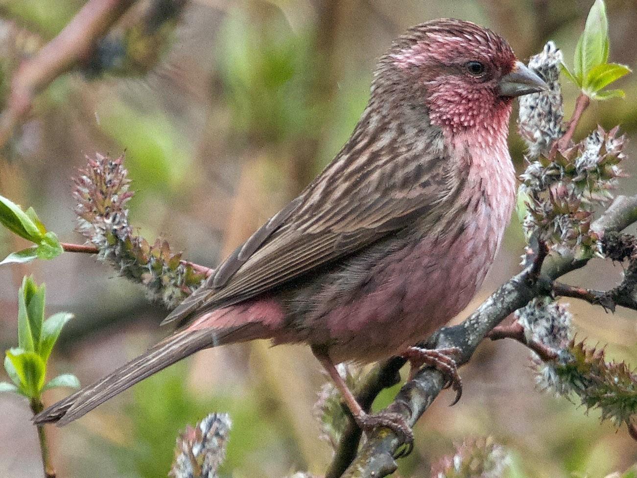 Pink-rumped Rosefinch - Craig Robson