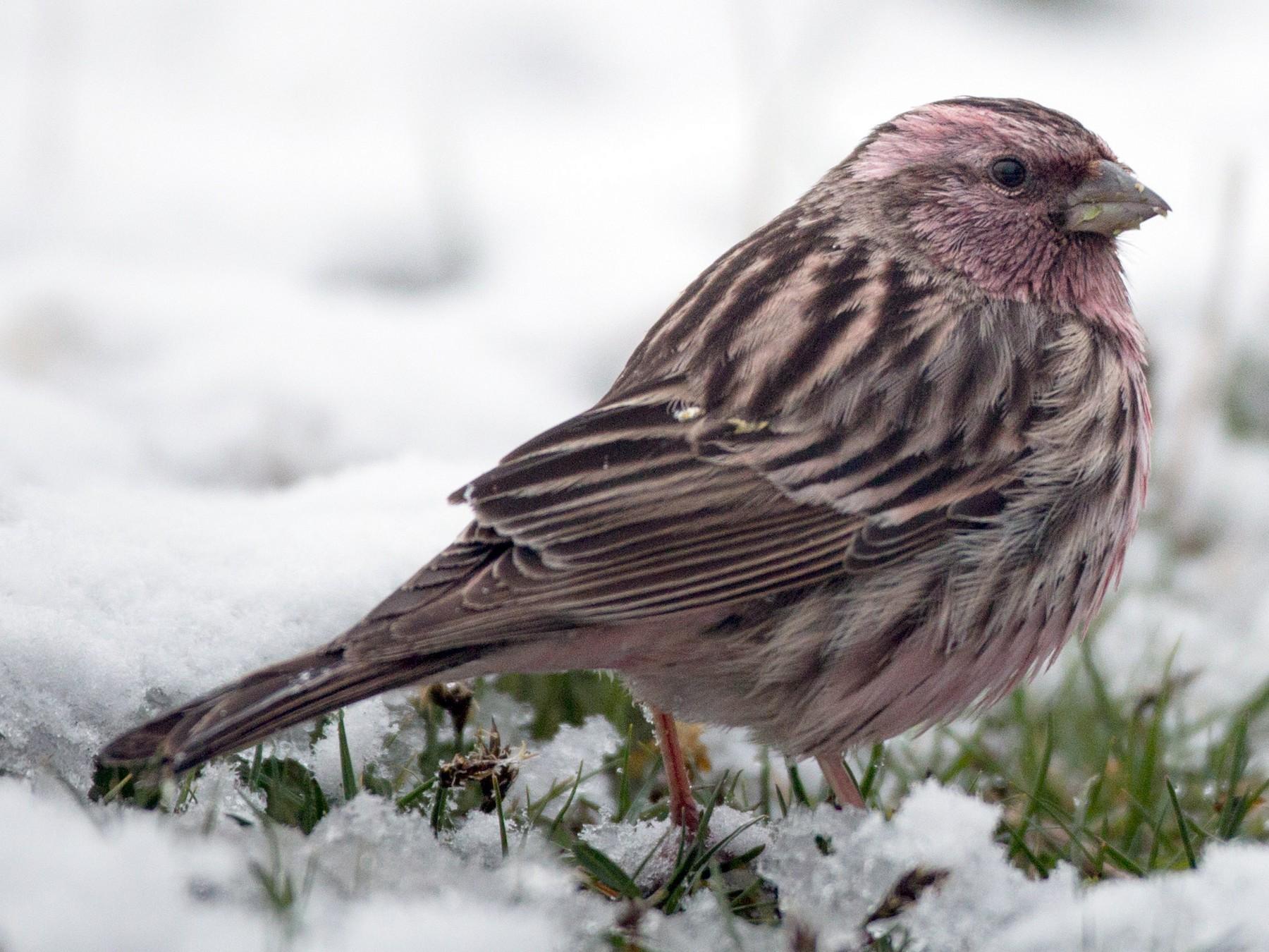Pink-rumped Rosefinch - Ian Davies