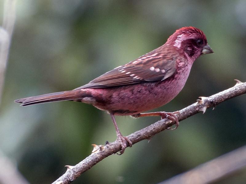 Spot-winged Rosefinch - Saurabh Sawant