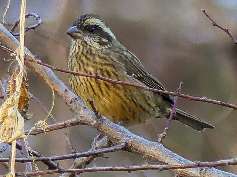 Spot-winged Rosefinch - Mike Prince