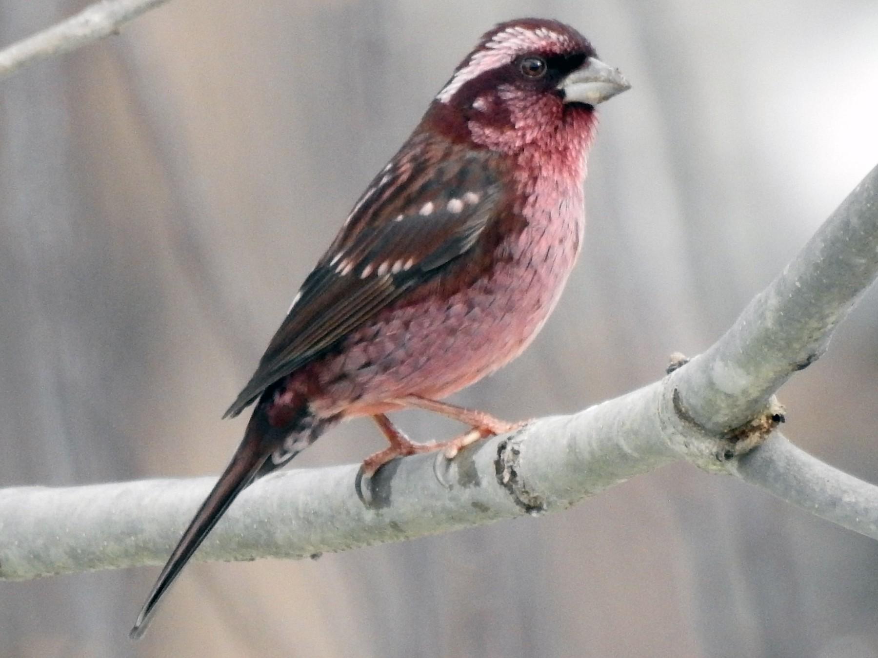 Spot-winged Rosefinch - sachin pushkarna