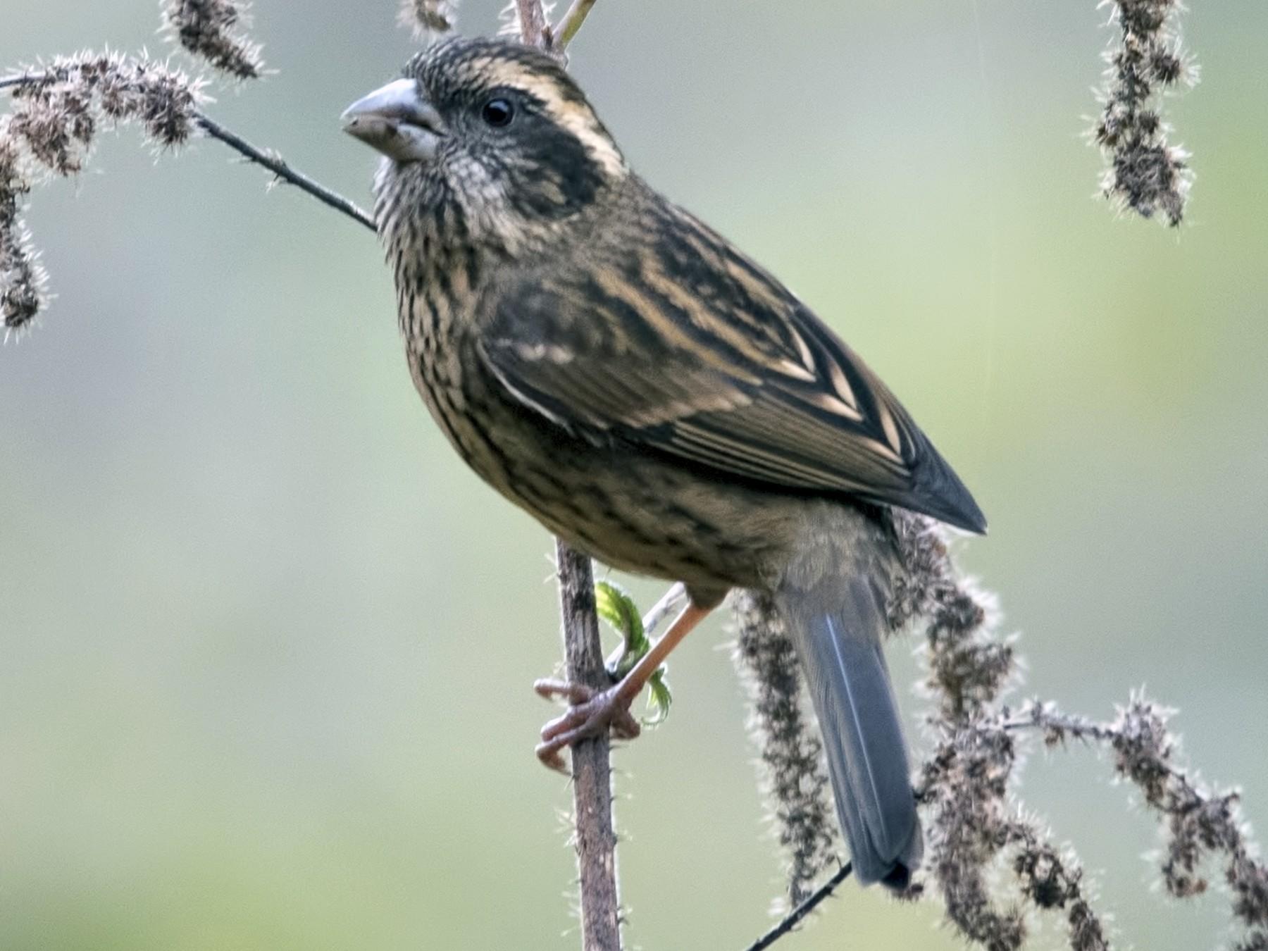 Spot-winged Rosefinch - Sommouli Sarkar