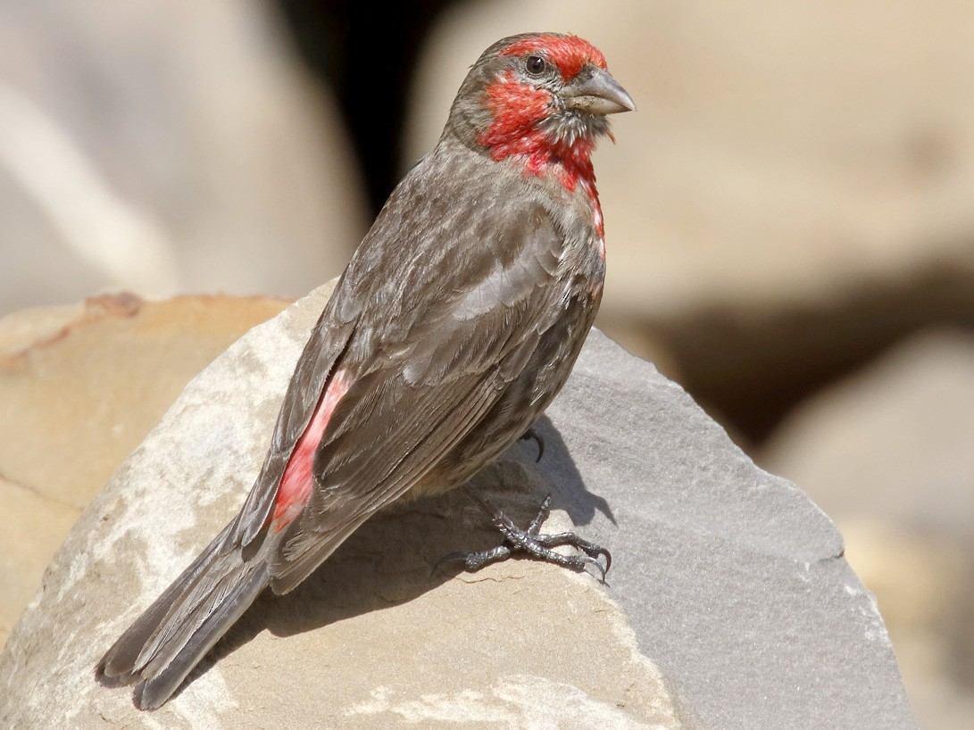 Red-fronted Rosefinch - Dave Curtis