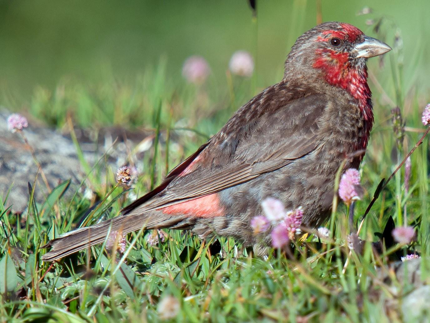 Red-fronted Rosefinch - Craig Brelsford
