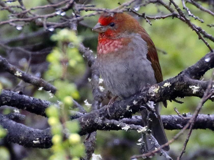 Crimson-browed Finch - Dave Curtis