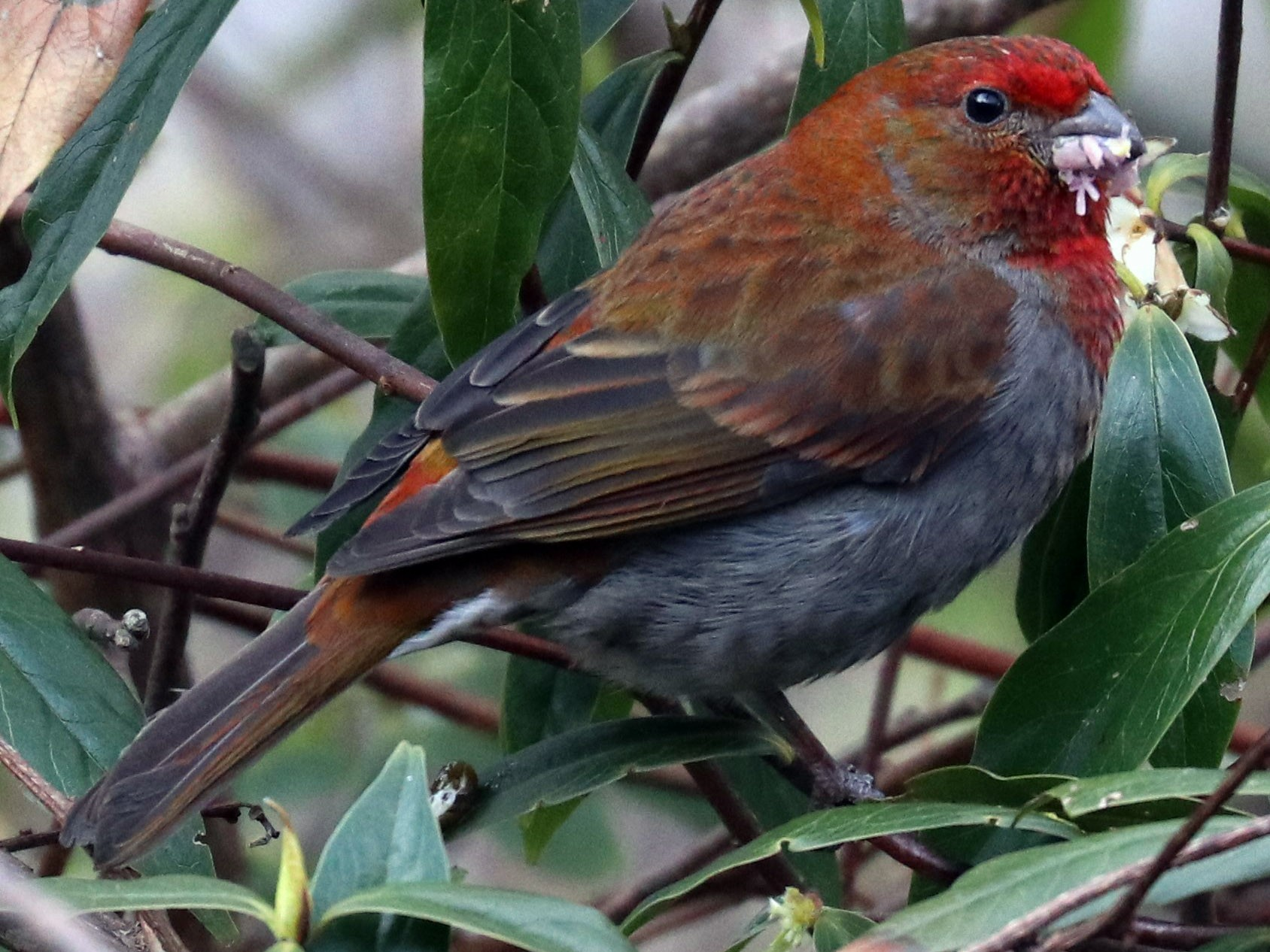 Crimson-browed Finch - Loch Kilpatrick