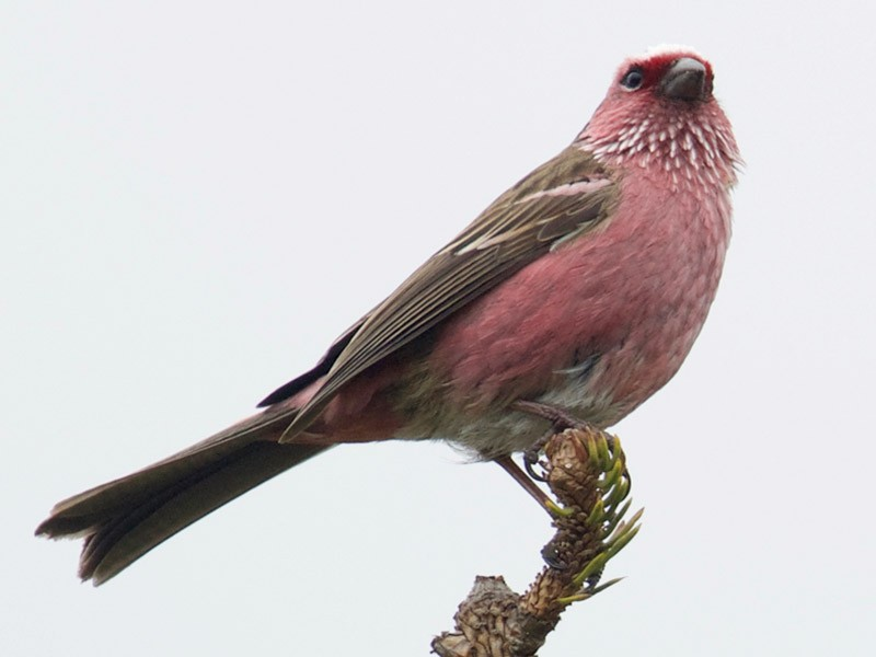 Chinese White-browed Rosefinch - Qin Huang