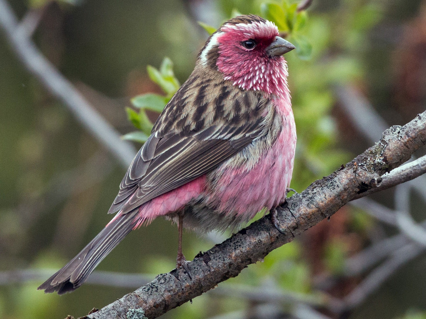Chinese White-browed Rosefinch - Ian Davies
