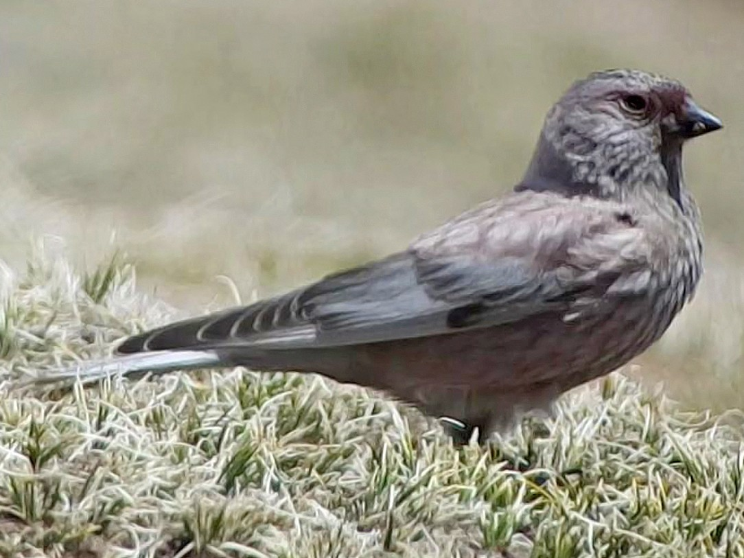 Asian Rosy-Finch - Paul French