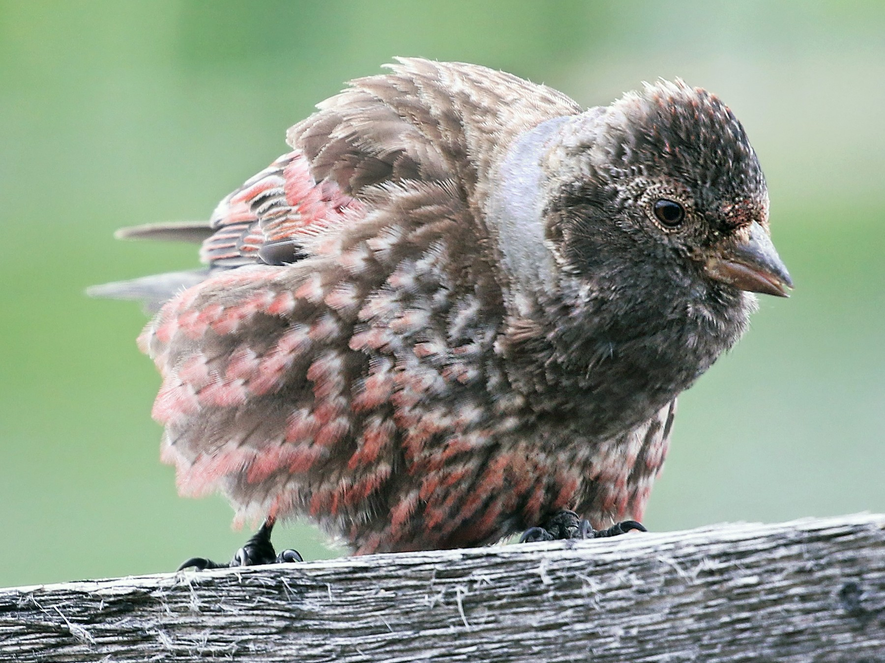 Asian Rosy-Finch - Andrew Spencer