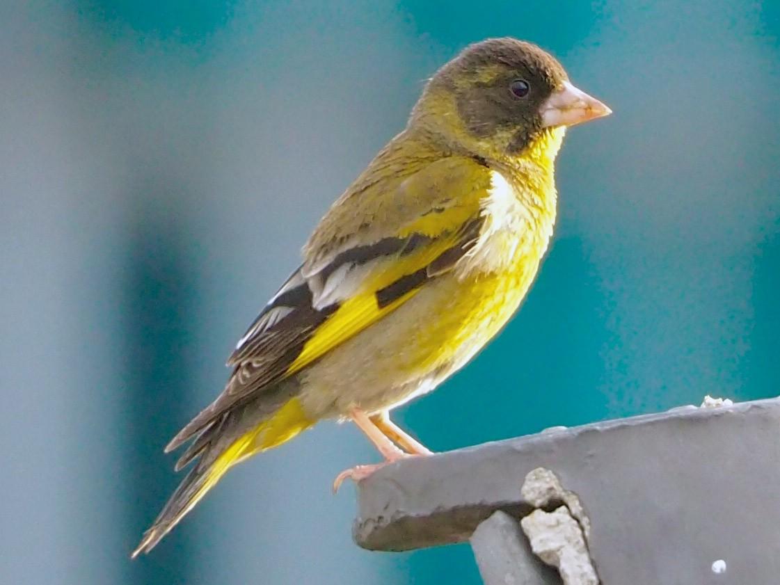 Black-headed Greenfinch - Will Morris