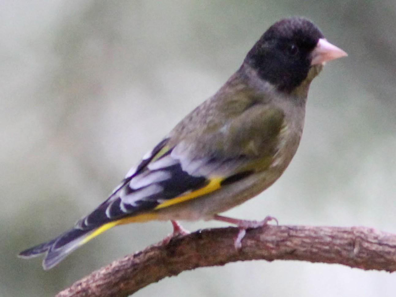 Black-headed Greenfinch - Paul Hyde