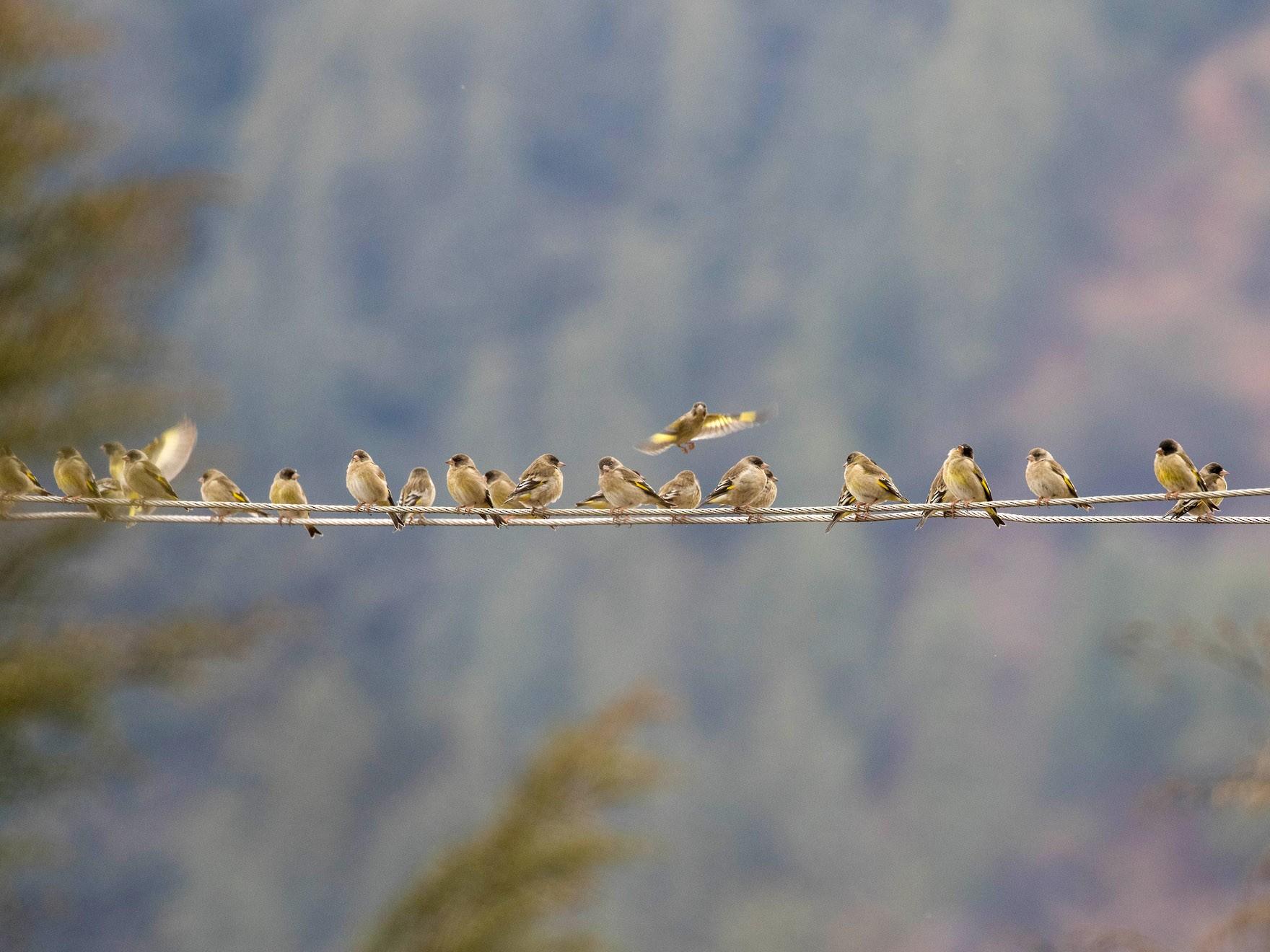Black-headed Greenfinch - Kumar RR
