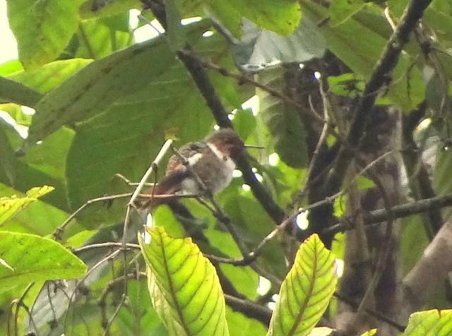 Glow-throated Hummingbird