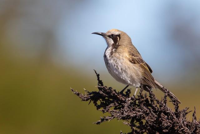 ©Paul Heath | Bird Photography Workshops - Tawny-crowned Honeyeater