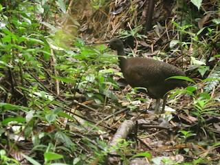 Highland Tinamou, ML183341301