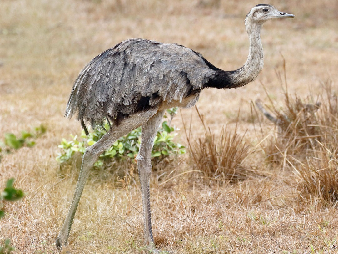 Greater Rhea - Dave Curtis