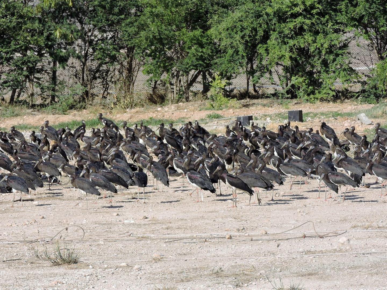 Abdim's Stork - Robert Tovey