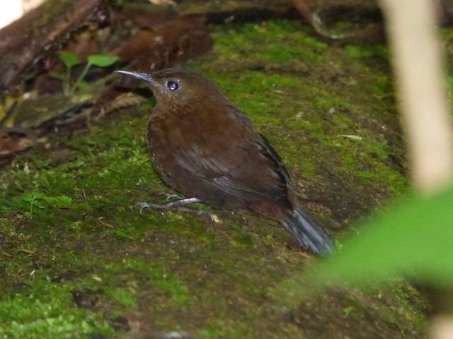Tawny-throated Leaftosser (Dusky)