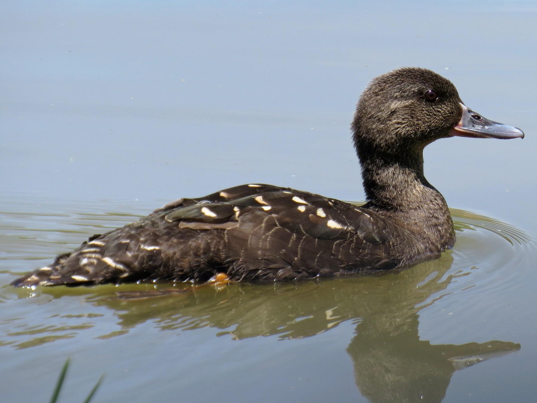 African Black Duck - Ann Truesdale