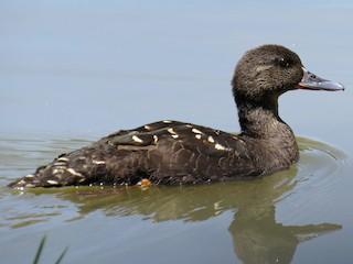 - African Black Duck