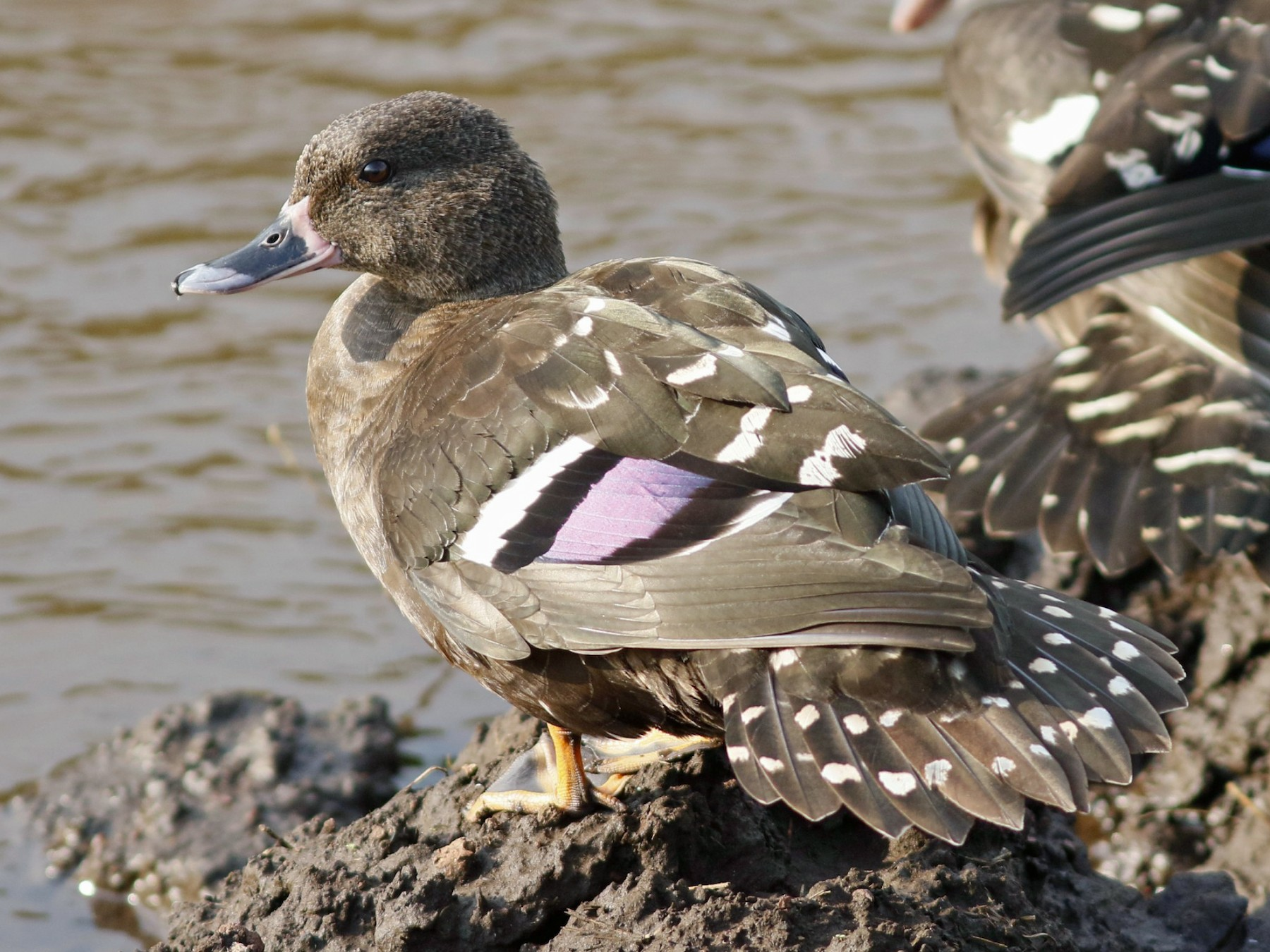 African Black Duck - John Sullivan