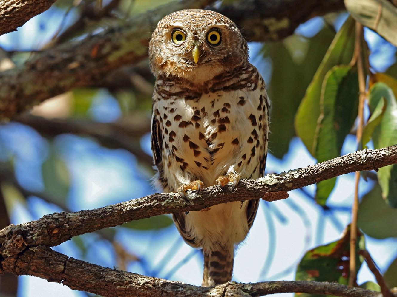 African Barred Owlet - Nigel Voaden