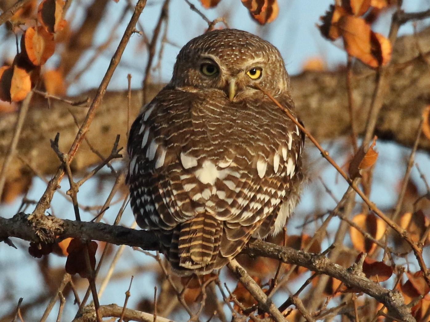 African Barred Owlet - Scott Sneed